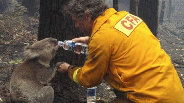 Ein Feuerwehrmann hält die Pfote eines Koalas und lässt ihn aus seiner Wasserflasche trinken