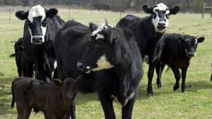 Kühe in North Carolina (Archivbild)