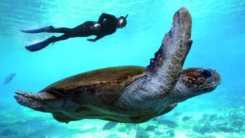 Schildkröte und Taucher