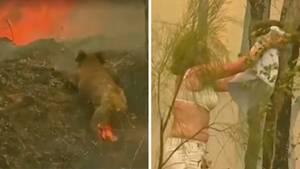 Australierin rettet einen verletzten Koala aus den Flammen