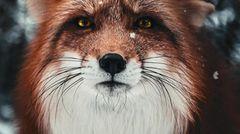 Begegnung mit einem Fuchs im Allgäu