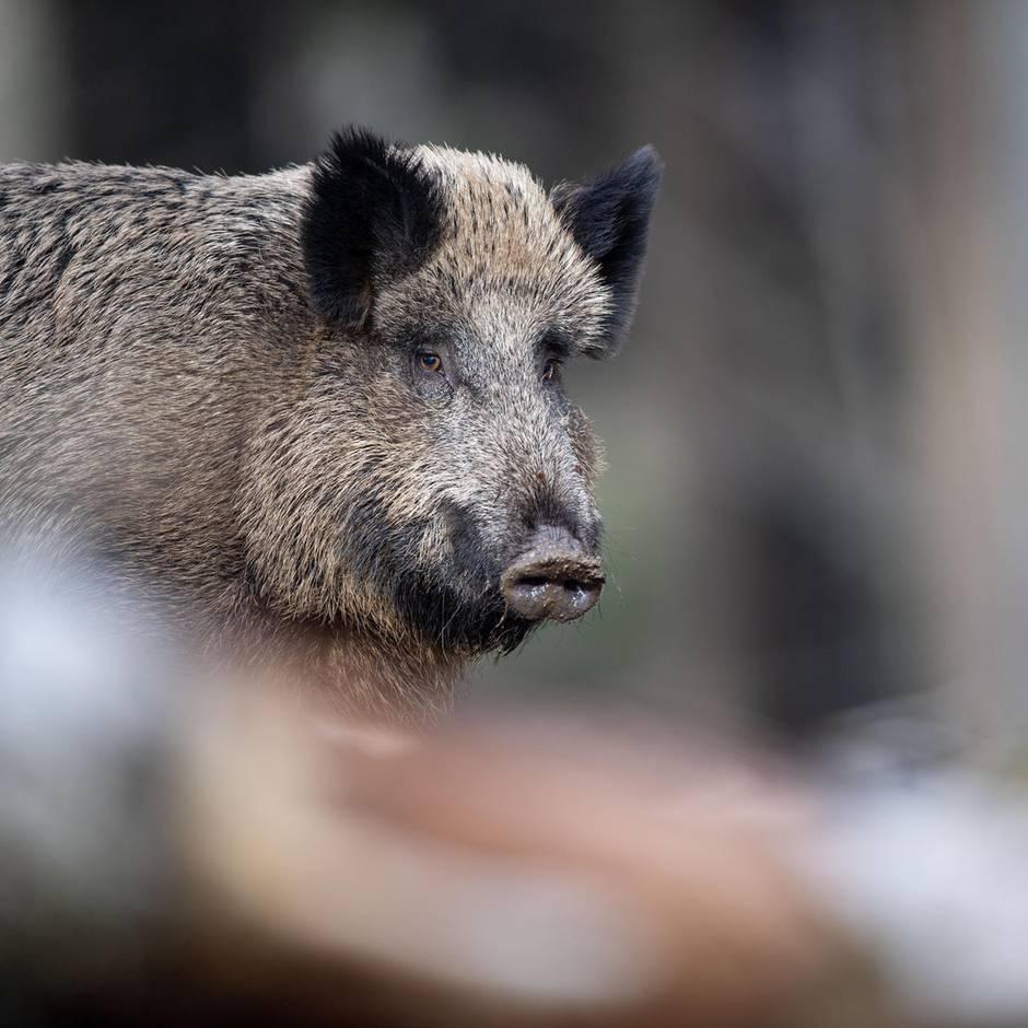 Nachrichten aus Deutschland: Jagdhund treibt Wildschwein in die Enge – dann greift das Tier eine Jägerin an