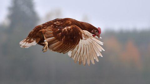 Filmhuhn Sieglinde ist heute Thema im Landgericht Kleve (Symbolfoto des Huhns)