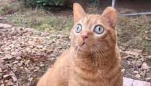 Eine rote Katze mit großen, runden, grünen Augen