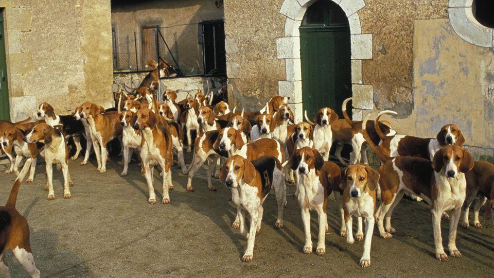 Eine Hundemeute der Rasse Poitevins steht auf einem sonnenbeschienenen Innenhof eines altgelben Gebäudes