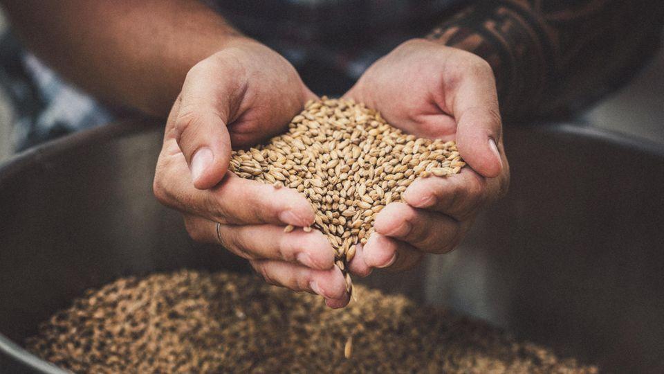 Ein Mann hat Getreide zum Bier brauen in der Hand
