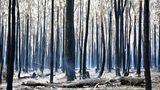 Und das bleibt übrig, wenn alles vorbei ist: verbrannte Bäume nahe dem OrtOld Bar