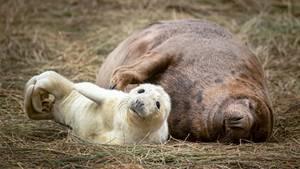 Somercotes, Großbritannien. Während das Kegelrobben-Weibchen ganz entspannt im NaturschutzgebietDonna Nook herumliegt, scheint den Nachwuchs doch die Neugier umzutreiben.