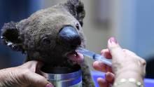 Ein dehydrierter und verletzter Koala wird im Tierkrankenhaus vonPort Macquarie versorgt
