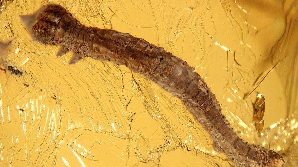 In Bernstein eingeschlossenes Fossil