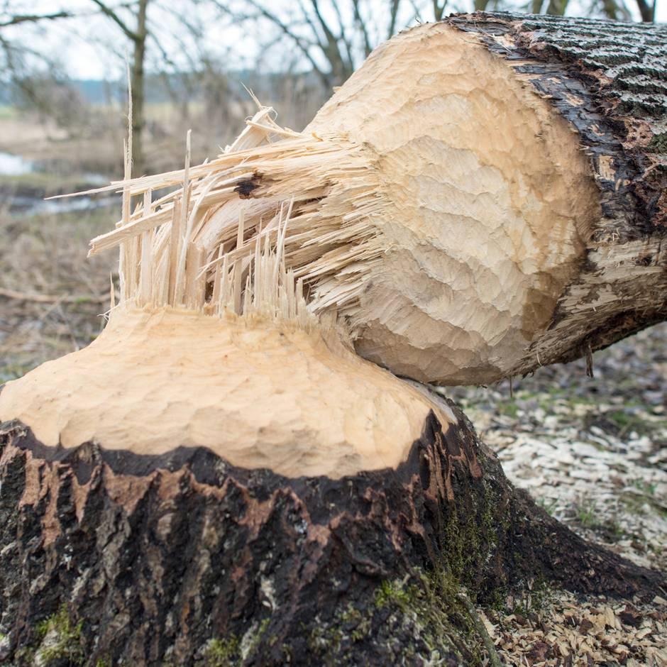 Nachrichten aus Deutschland: Biber fällt Bäume an Autobahn - Polizei muss Fahrbahn freiräumen