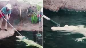 Weißer Alligator