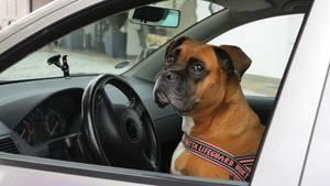 Bei dem Hund am Steuer in Florida handelte es sich um einen Labrador, keinen Boxer