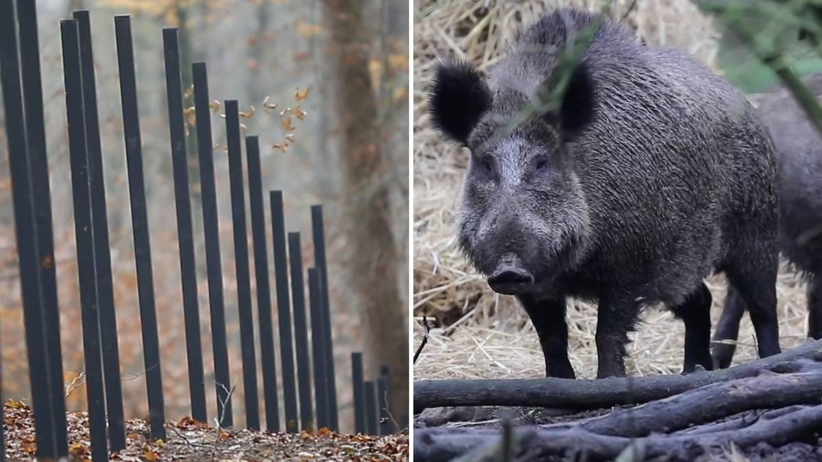 Flensburg: Dänemarks Wildschweinzaun fast komplett