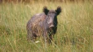 Ein wildes Schwein steht auf einer Wiese und schaut aufmerksam