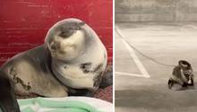 Während seiner eigenen Rettung schläft diese Baby-Robbe immer wieder ein