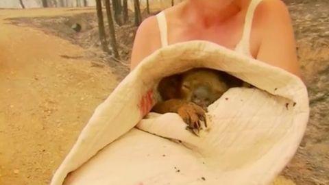Der schwer verletzte Koala im Oberteil von Doherty eingewickelt