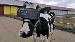 Kühe mit VR-Brille