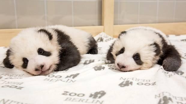 Panda-Zwillinge im Berliner Zoo