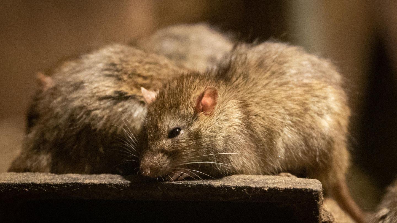 In Nordchina haben lokale Behörden jdamit begonnen, Ratten und Flöhe weitläufig mit Gift zu bekämpfen