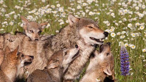 Eine Wolfsfamilie auf einer Wiese