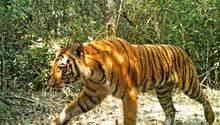 Ein Tiger läuft durch einen Wald