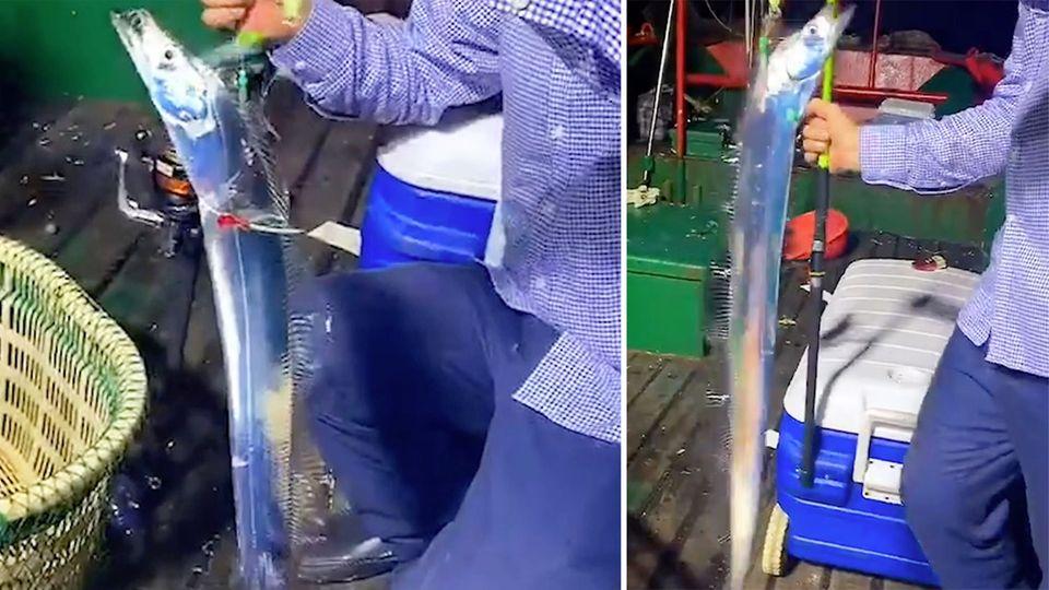 News im Video: Angler fängt seltenen Sägedegenfisch