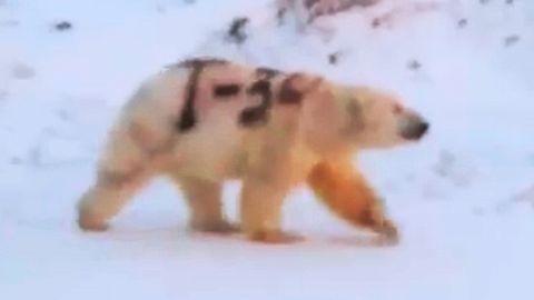 Ein Graffito auf einem Eisbären.
