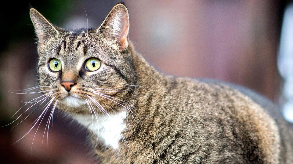 Eine getigerte Katze schaut aufmerksam