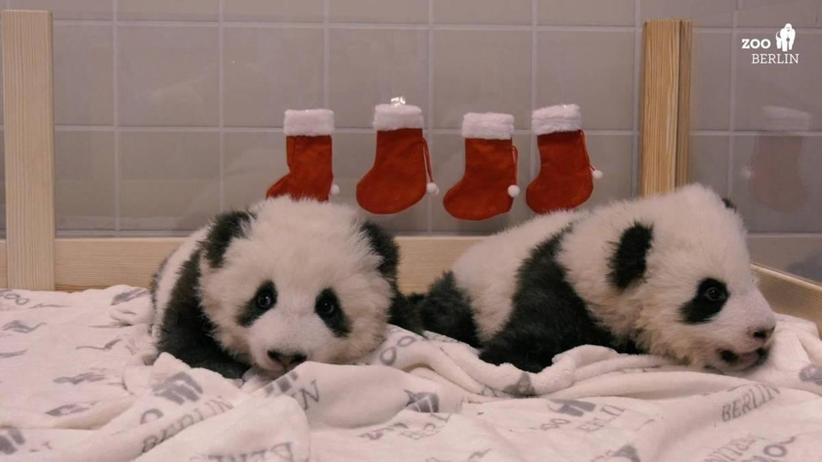 Zoo in Berlin: Rote Socken am Bettchen: Panda-Zwillinge feiern Nikolaus
