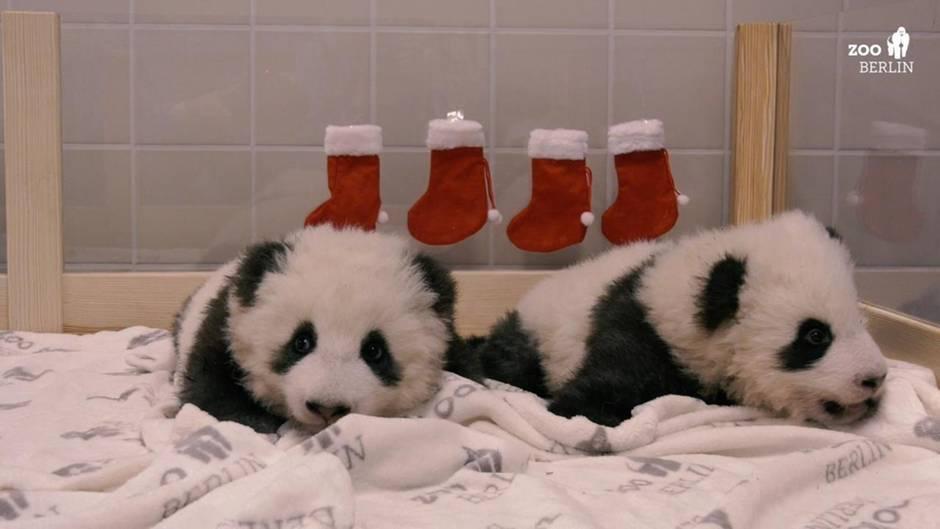 Panda-Zwillinge im weihnachtlich geschmückten Zoo-Bett