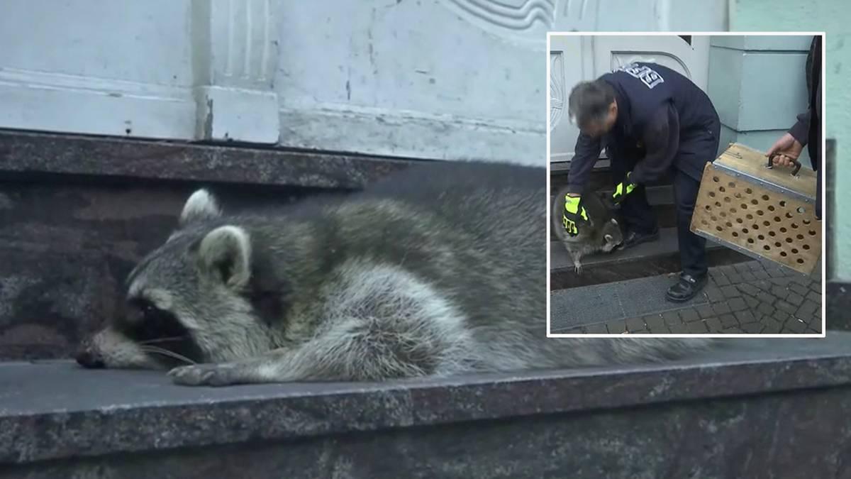 Weihnachtsmarkt in Thüringen: Torkelnder Waschbär von Erfurt: Jäger tötet das kleine Raubtier
