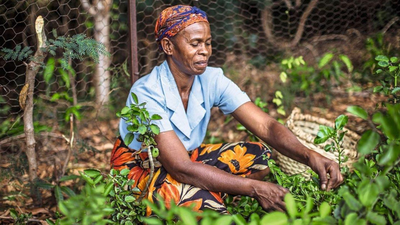 Eine Frau erntet Goethe-Pflanzen