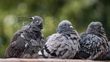 Drei Tauben sitzen nebeneinander un spielen mit Wasser