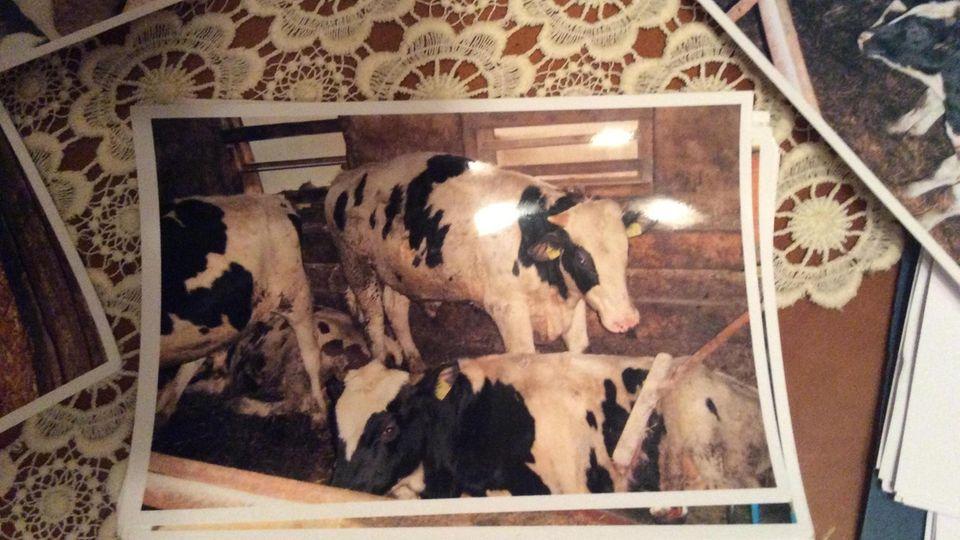 Ein Foto von Kühen