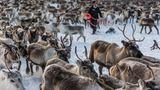 Um die Tiere zusammenzutreiben, müssen die Rentierhirten sie teilweise wochenlang in den unwegsamen Bergregionen an der norwegischen Grenze suchen und in Richtung ihres Sammelplatzes treiben