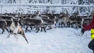 Rentier-Herde im Schnee