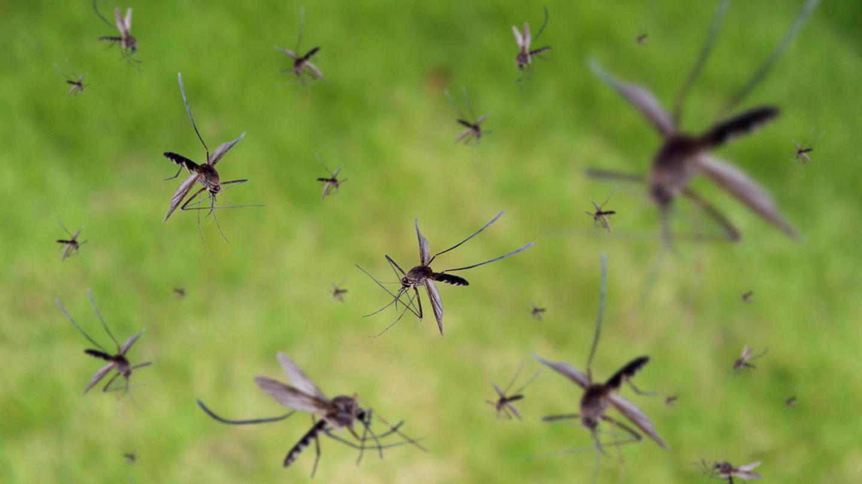 Mücken fliegen durch die Luft