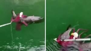 Kämpfender Oktopus und Adler