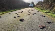 Die Polizei ermittelt: Rund 225 tote Stare liegen auf einem Landweg in Wales