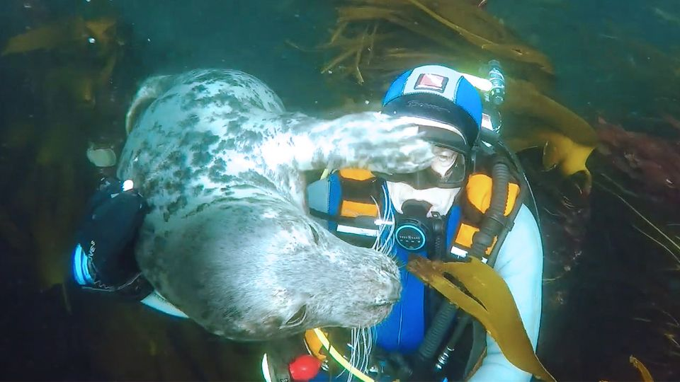 Robbe kuschelt mit Taucher