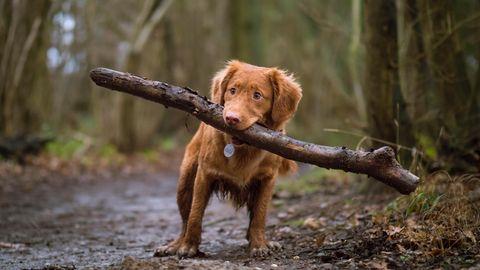 Hund mit Stöckchen