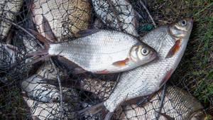 Fische Antibiotika