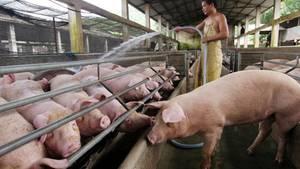 China ist der größte Schweinefleischproduzent der Welt.
