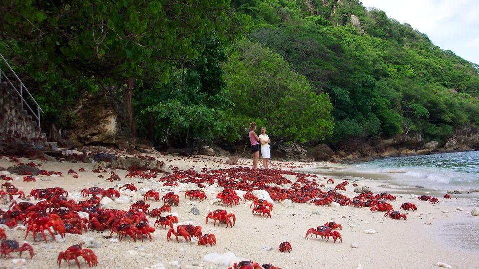 Weihnachtsinsel-Krabben