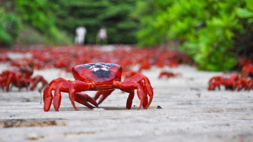 Einer ist der Anführer, die anderen Krabben laufen hinterher