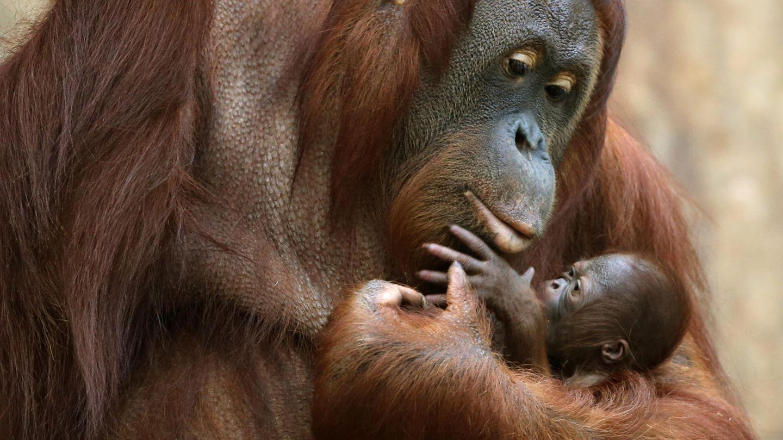 """Das Orang-Utan Baby """"Suria""""klammert sich im Zoo in Krefeld an seine Mutter """"Lea"""""""