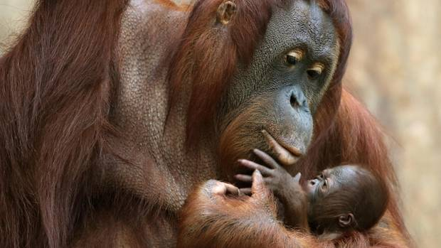 Die Orang Utan-Mutter Lea mit ihrer Töchter Suria im Jahr 2016. Beide starben beim Brandim Krefelder Affenhaus