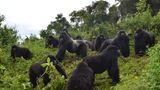 Berggorillas im Volcanoes National Park