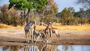 Giraffen im Mokolodi Nature Reserve